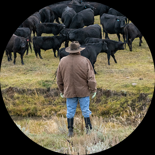 Farmer in front of cows